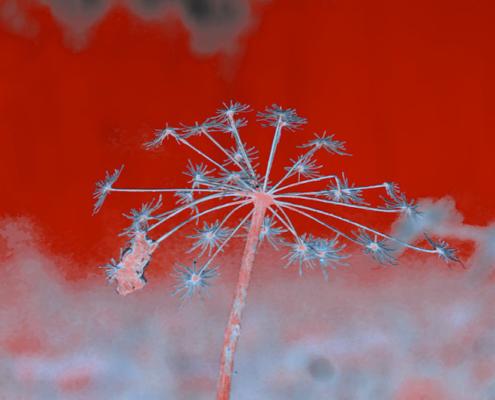 Entblätterter Blütenstand vor rotem Hintergrund